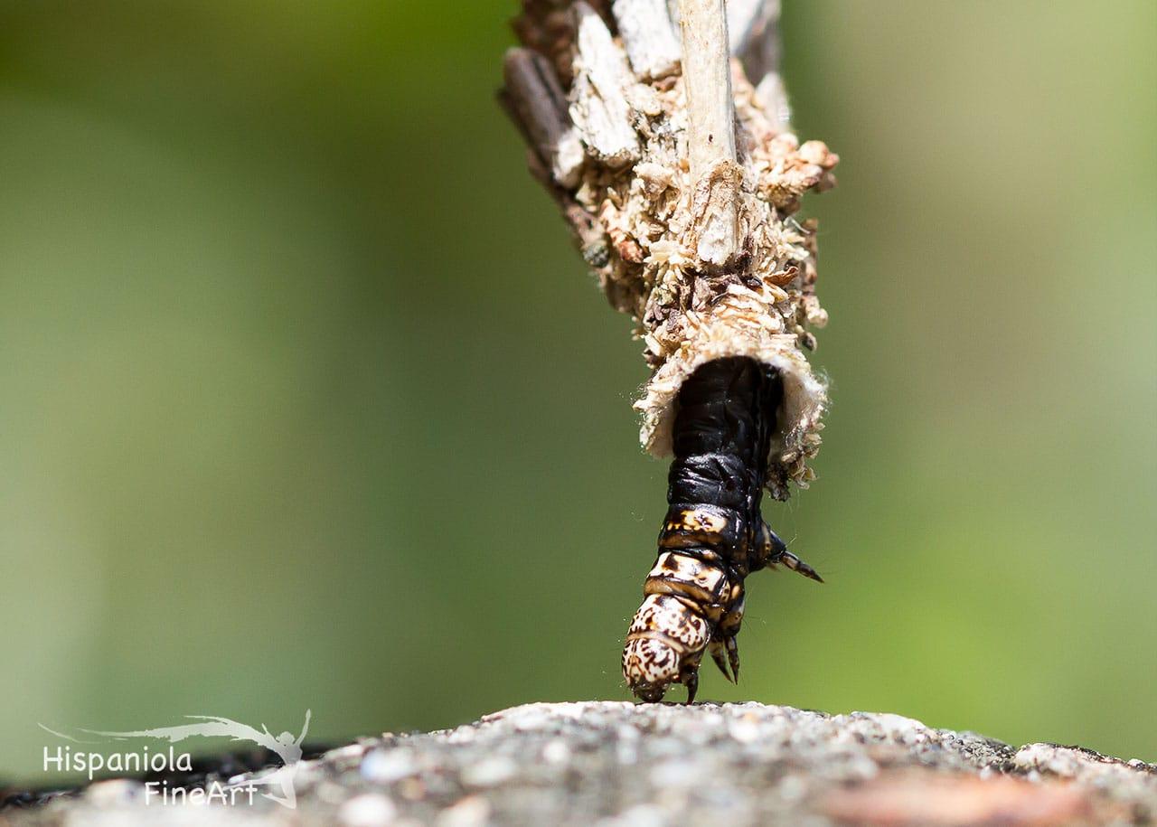 Echten Sackträger (Psychidae, Lepidoptera)