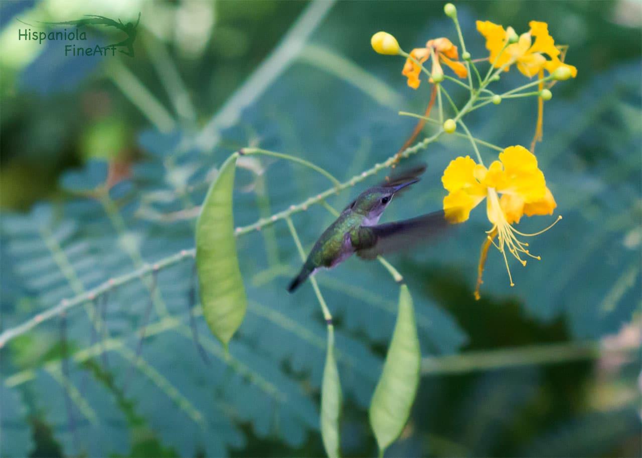 vervain hummingbird (Mellisuga minima)