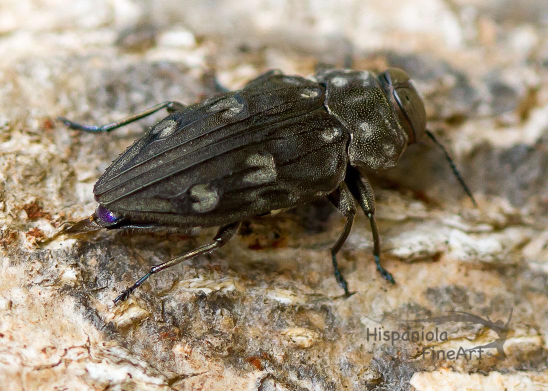Prachtkäfer (Buprestidae,Chrysobothris )