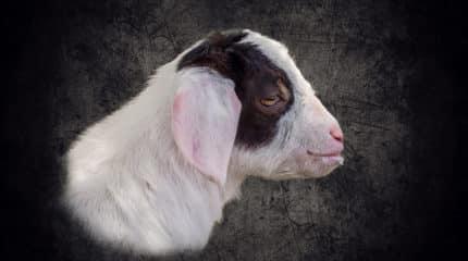 Donkey Matheo, Goat Oscar and Cow Rosana