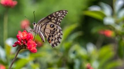 Butterfly Season